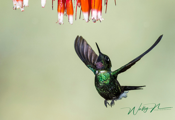 Tourmaline Sunangel_DSC0441 - Hummingbirds - Walter Nussbaumer Photography