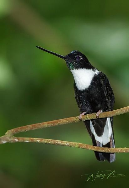 Collared Inca_0R8A0247 - Hummingbirds - Walter Nussbaumer Photography