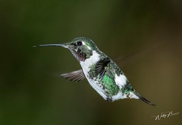 Woodstar(M)_0R8A0209 - Hummingbirds - Walter Nussbaumer Photography