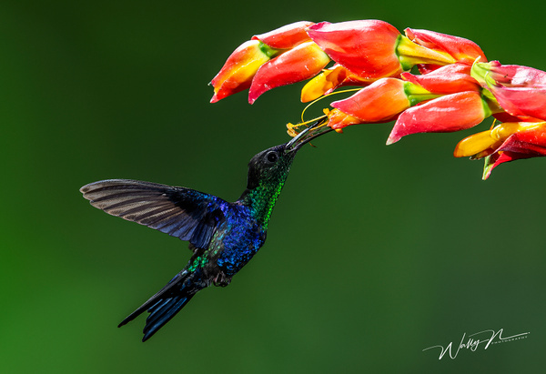 Crowned Woodnymph_73A9323 - Hummingbirds - Walter Nussbaumer Photography