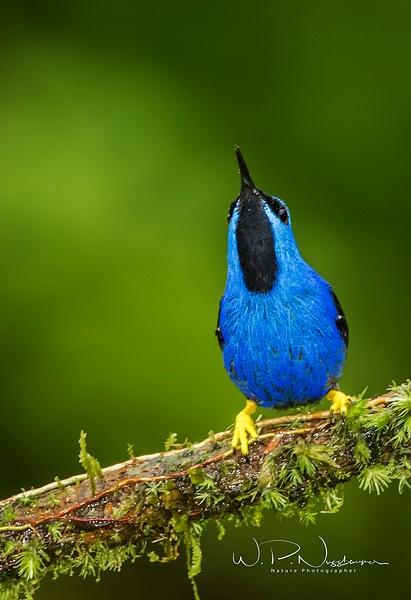 Shining Honeycreeper_0R8A6915 - Tropical Birds - Walter Nussbaumer Photography