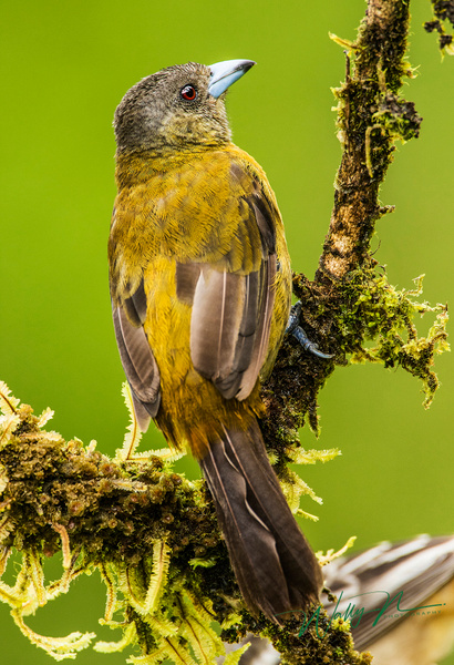Passerini's Tanager (F)_0R8A6951 - Tropical Birds - Walter Nussbaumer Photography