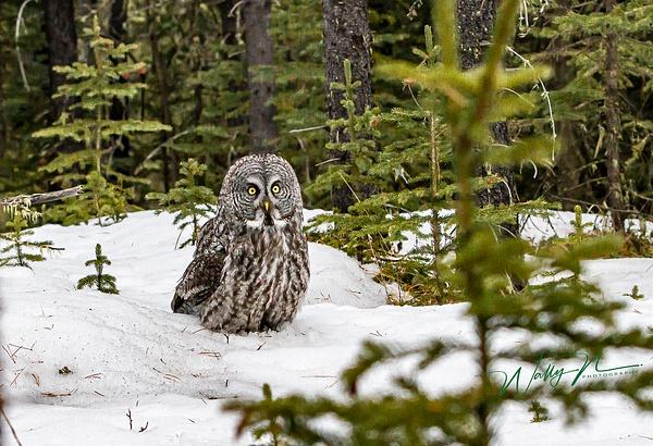 Great Grey Owl_29_03_2013_IMG_6406 - Great Grey Owls - Walter Nussbaumer Photography