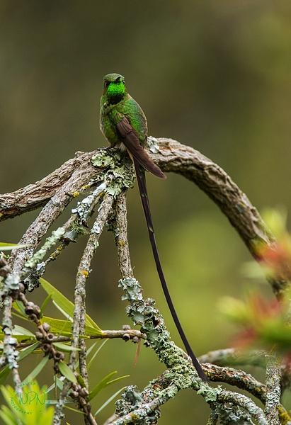 Black Tailed Trainbearer_0R8A0620 - Hummingbirds - Walter Nussbaumer Photography