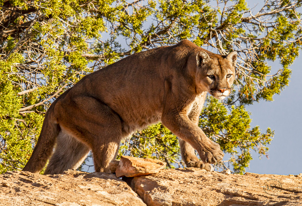 Mountain Lion_MG_8866 - Additional Files - Walter Nussbaumer Photography