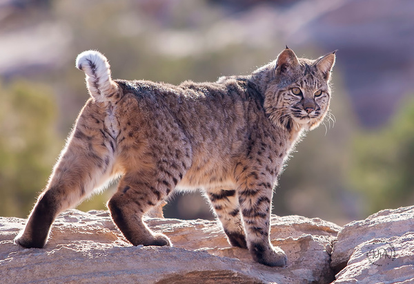 Bobcat_F3O7760 - Additional Files - Walter Nussbaumer Photography