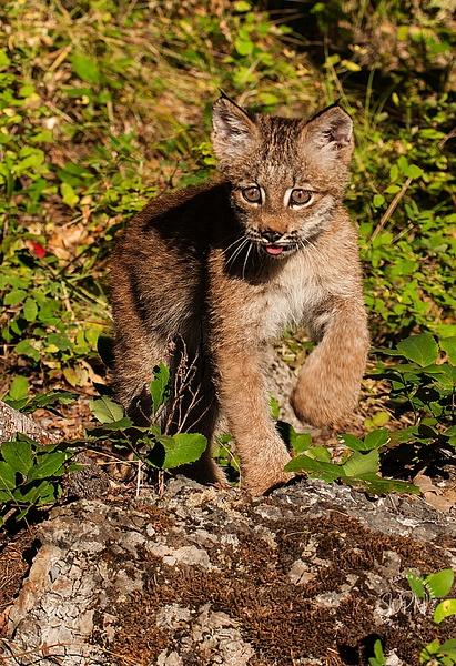 Lynx Kitten_F3O1748 - Additional Files - Walter Nussbaumer Photography