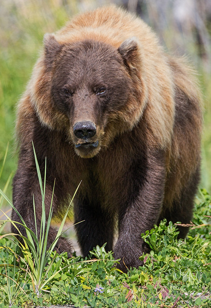 Brown Bear_73A9154 - Additional Files - Walter Nussbaumer Photography