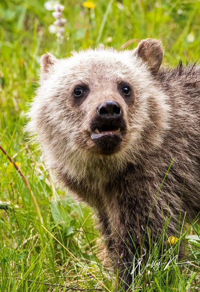 Grizzly Bear Cub_R8A0047 - Additional Files - Walter Nussbaumer Photography