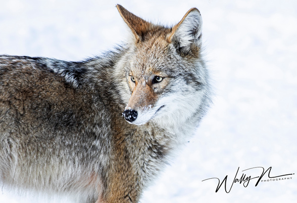 Coyote_R8A6657 - Additional Files - Walter Nussbaumer Photography