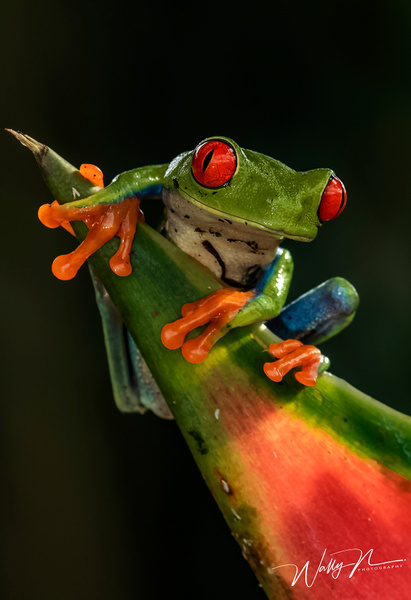 Red eyed tree frog_0R8A7773 - Additional Files - Walter Nussbaumer Photography