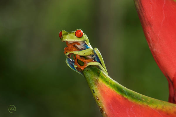 Red Eyed Leaf Frog_0R8A7779 - Additional Files - Walter Nussbaumer Photography