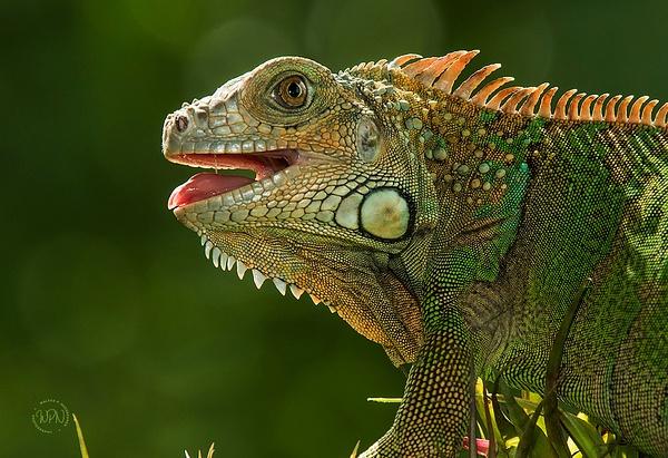 Green Iguana_0R8A7701 - Additional Files - Walter Nussbaumer Photography