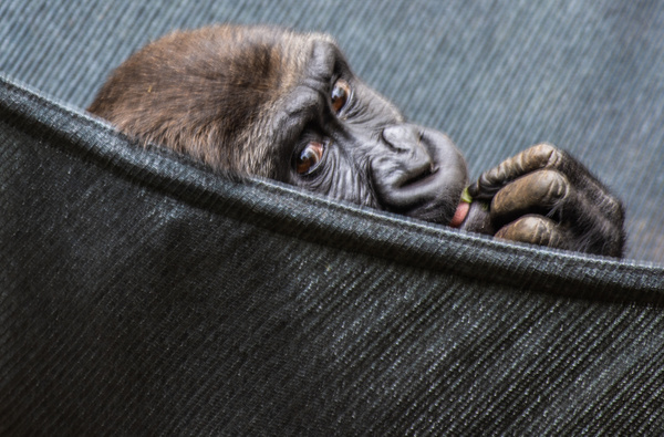 Kanzi - Wildlife - Graeme Welsh Photography