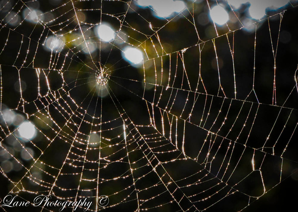 Web with Dew II - Nature - Lane Photography