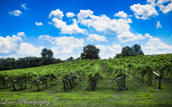 Vineyard Rabit Hash 7-18-20 VI-1 - Copy - Nature - Lane Photography