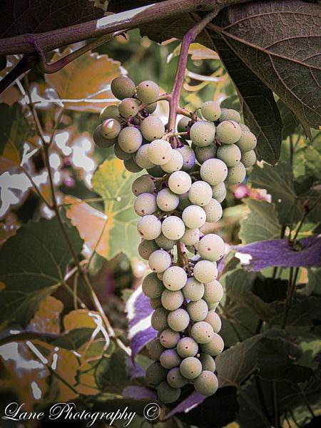 Vineyard Rabit Hash 7-18-20 II-1 - Copy - Nature - Lane Photography