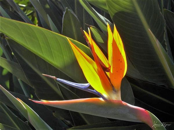 Bird of paradise QR - Caribbean - Image8