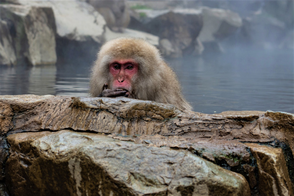 Snow Monkey deep in thought - Nature - Nicola Lubbock Photography