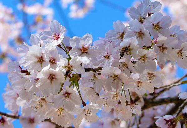 Cherry Blossom Bee - Nature - Nicola Lubbock Photography