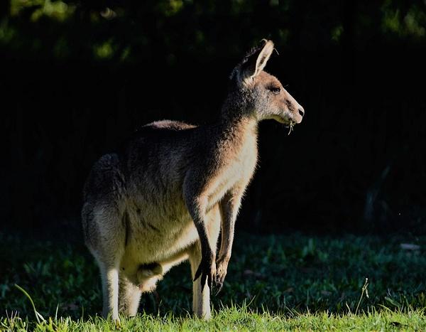 Wild Kangeroo - Nature - Nicola Lubbock Photography