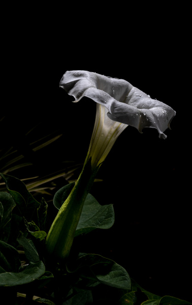 Moon Flower by Allan Barnett