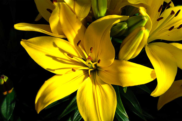 Yellow Lilly (FG0025) - Floral - Bella Mondo Images
