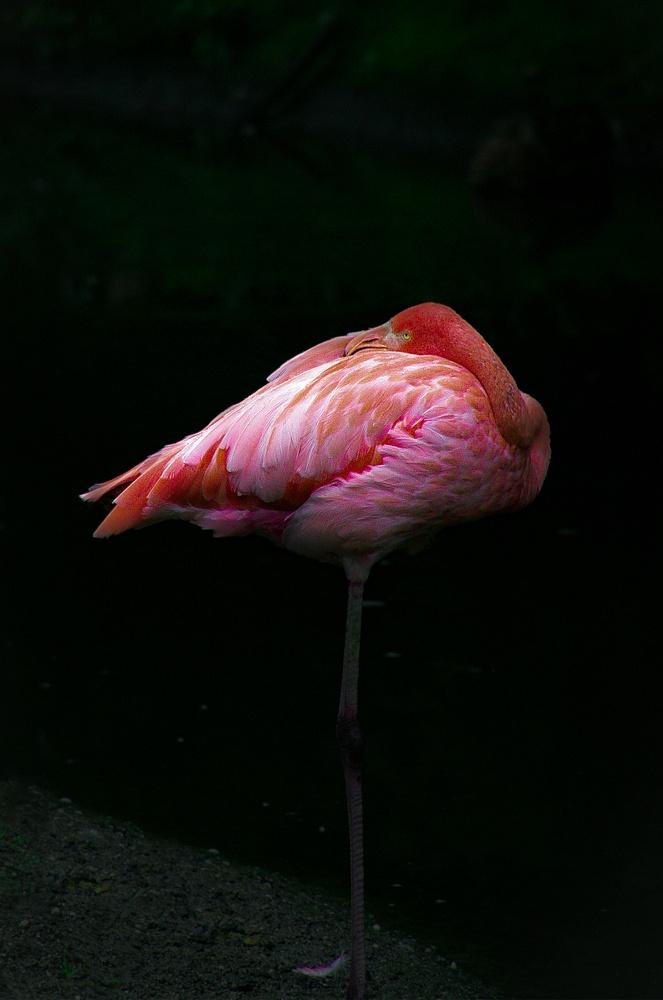Flamingo (WL0074)