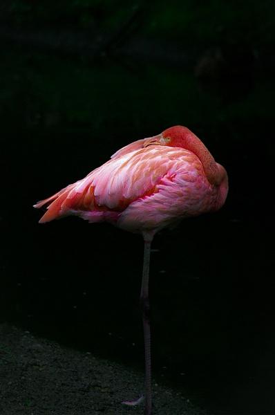 Flamingo (WL0074) - Home - Bella Mondo Images