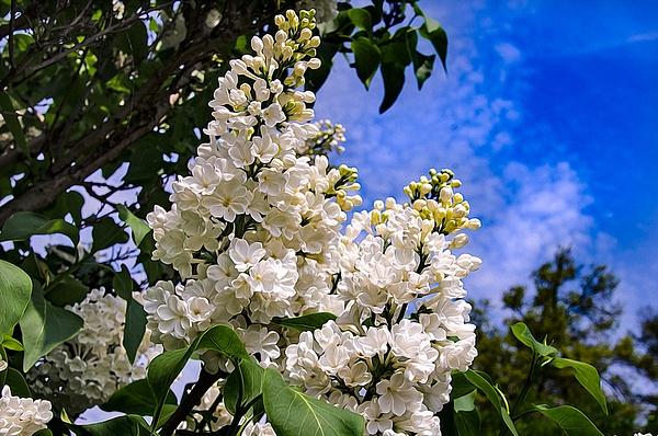 Lilac (FG0033) - Floral - Bella Mondo Images