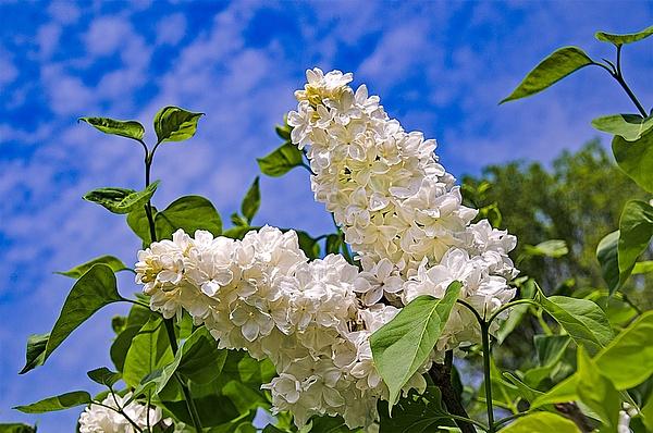 Lilac (FG0032) - Floral - Bella Mondo Images