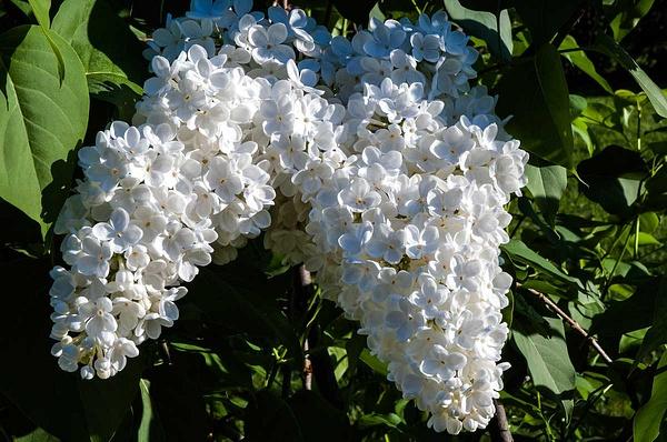Lilac (FG0026) - Floral - Bella Mondo Images