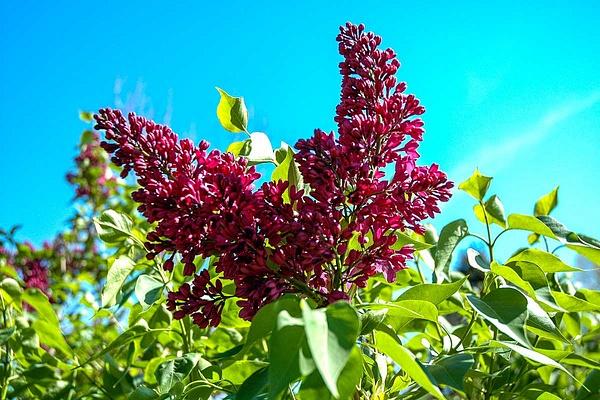Lilac (FG0024) - Floral - Bella Mondo Images