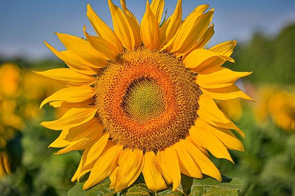 2020 Sunflower (FG1673) - Floral - Bella Mondo Images