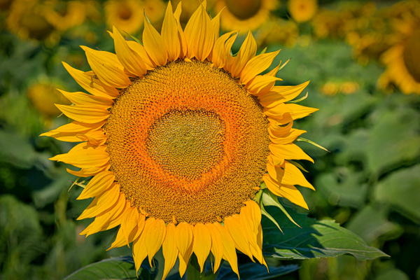 Sunflower (FG1679) - Floral - Bella Mondo Images