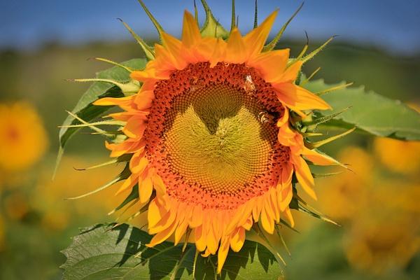 Sunflower (FG1677) - Floral - Bella Mondo Images