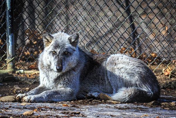 Wolf (WL1722) - Black White -Bella Mondo Images