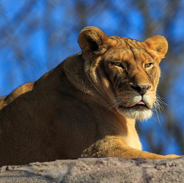 Lioness (WL1723) - Black White -Bella Mondo Images