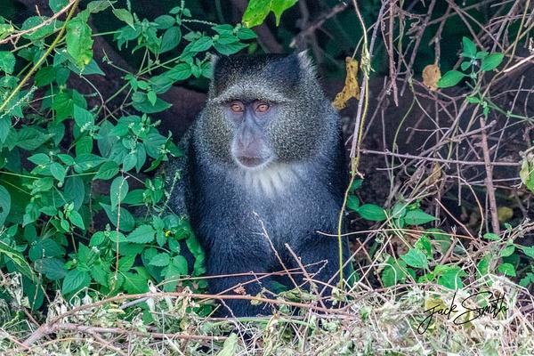 Blue Monkey - R3.1356 - Animals - Jack Smith Studio
