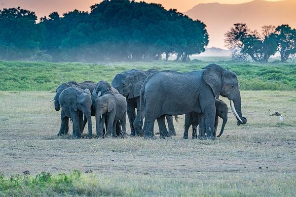 Elephants - R3.2239 - Animals - Jack Smith Studio