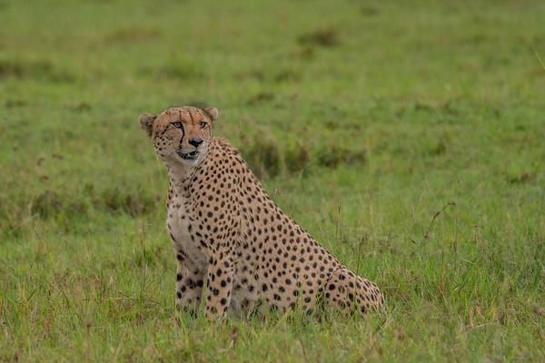 Cheetah - R3.2583 - Animals - Jack Smith Studio