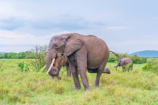Elephant - R2.1646 - Animals - Jack Smith Studio