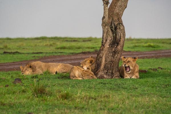 Lions - R3.2606 - Animals - Jack Smith Studio