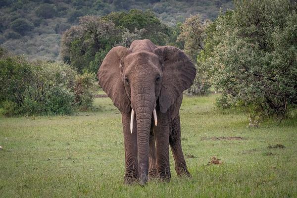 Elephant - R3.2797 - Animals - Jack Smith Studio