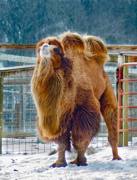 The Camel - Plumpton Park Zoo - Robert Moore Photography