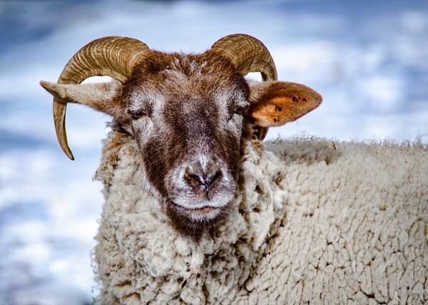 Ram - Plumpton Park Zoo - Robert Moore Photography