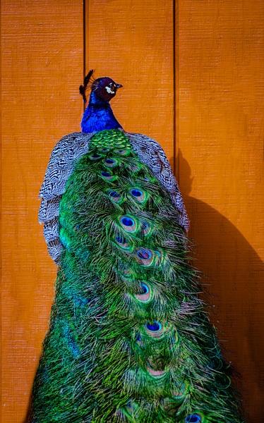Fancy Feathers - Plumpton Park Zoo - Robert Moore Photography