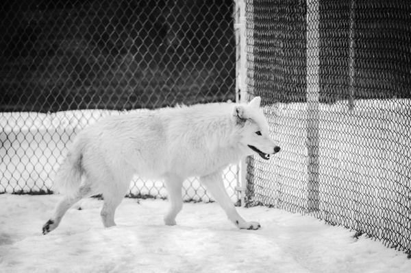The White Wolf - Plumpton Park Zoo - Robert Moore Photography
