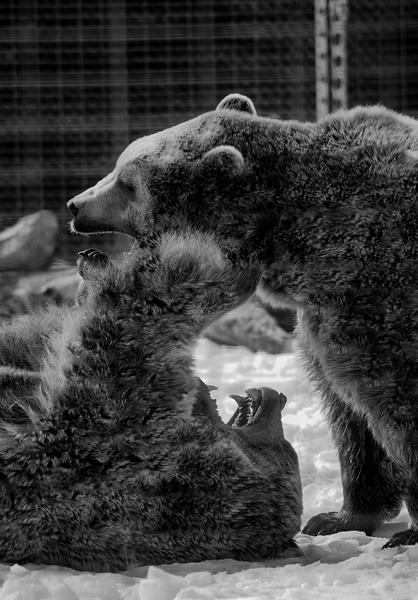 Sibling Rivalry - Plumpton Park Zoo - Robert Moore Photography