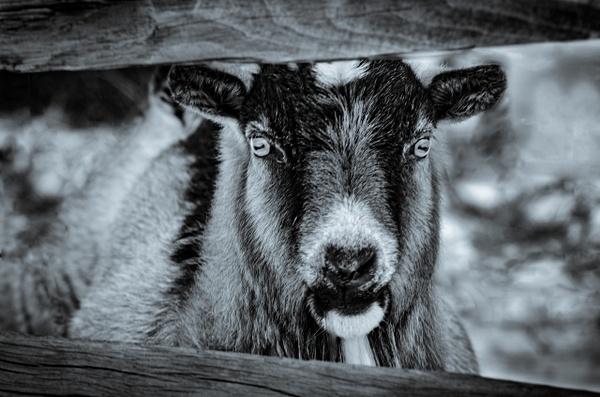 The Goat - Plumpton Park Zoo - Robert Moore Photography
